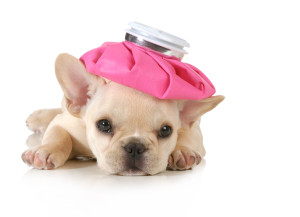 sick puppy - french bulldog with hot water bottle on head isolat
